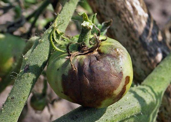 Поражение плода томата фитофторой