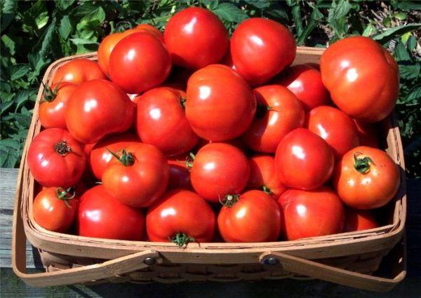 Сорт Ирина отличает от остальных высокий показатель урожайности