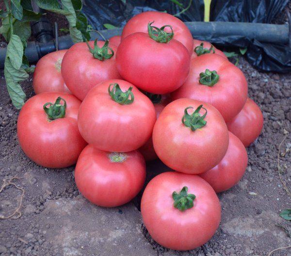 Гибридный сорт томата Малиновый звон