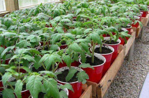 Саженцы томата рио гранде