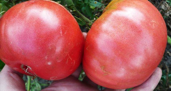 Плоды томата шапка мономаха крупным планом