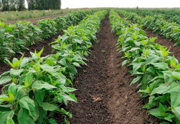 Топинамбур устойчив к болезням и вредителям и не требует обработки пестицидами