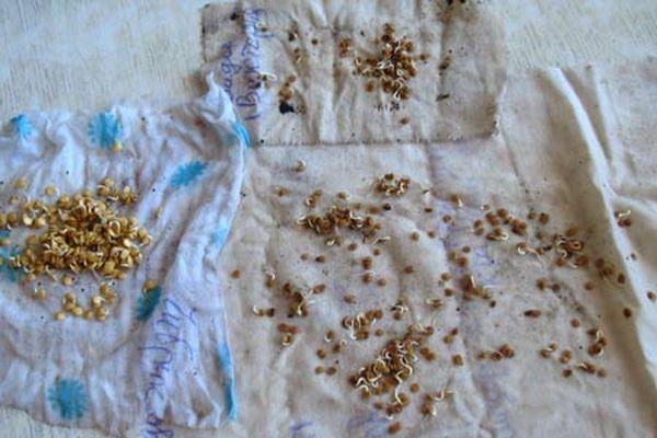 Проращивание семян укропа