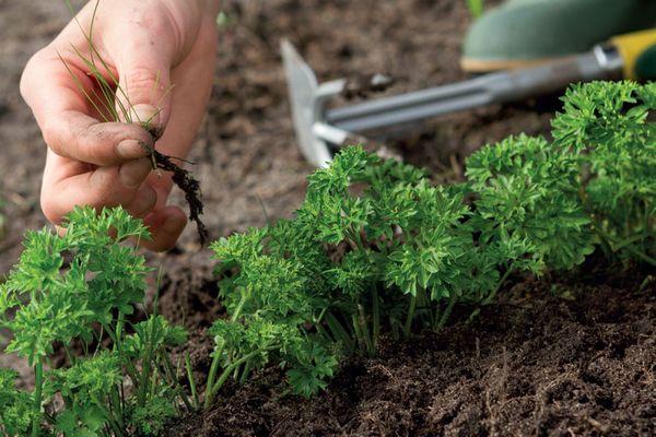 Обязательное необходимо удалять сорняки на грядках с зеленью и рыхлить почву