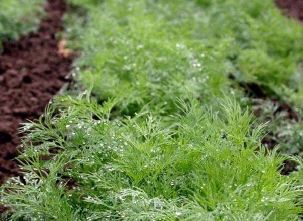 Выращивание укропа на зелень