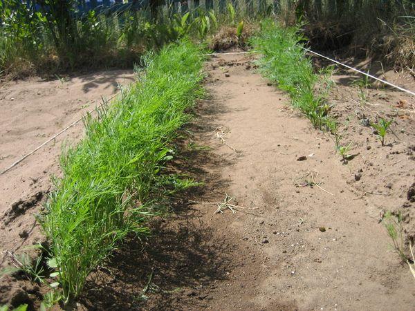 Чтобы получить около 20 кустов на 1м2, высаживают около 2 грамм семян