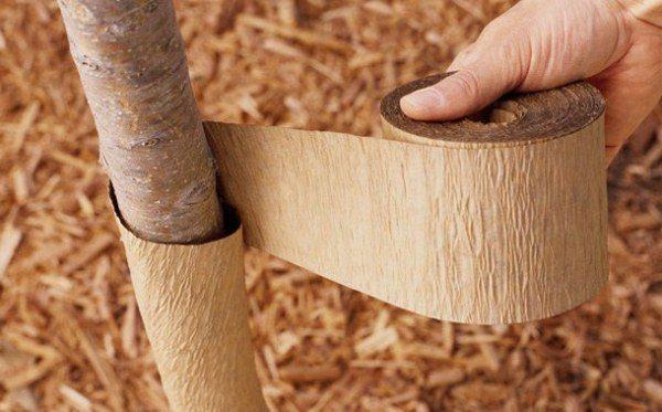 На зиму для защиты от грызунов ствол черешни обвязывают нетканым материалом