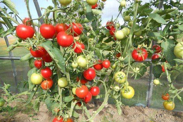 Какие ранние сорта помидор сажать в теплицу?