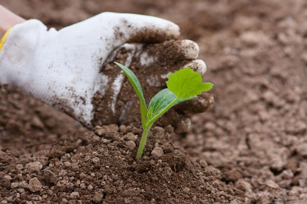 Патиссоны любят нейтральные почвы