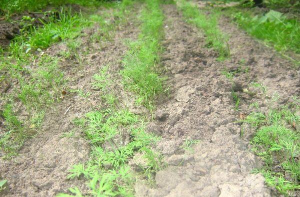Чтобы получить хорошие всходы сеять укроп нужно очень рано