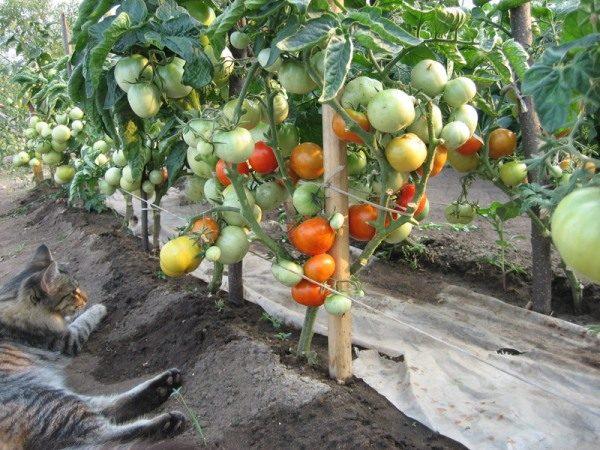 Даже в условиях Сибири высаженные по методике И. М. Маслова кусты томатов дают стабильно высокие урожаи и в открытом грунте, и в теплицах