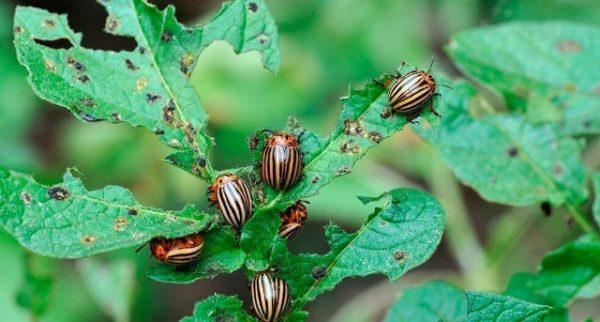 Колорадский жук на садовом участке