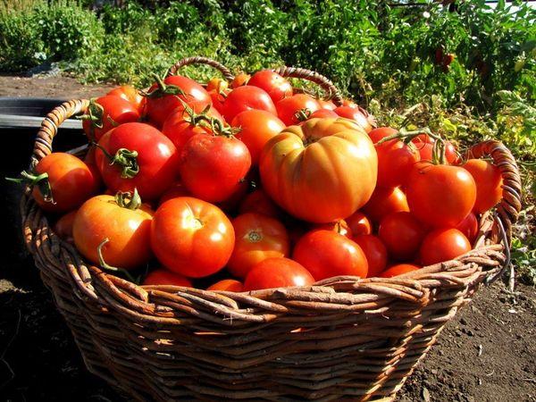 Препарат Завязь помогает собрать урожай даже после весенних заморозков