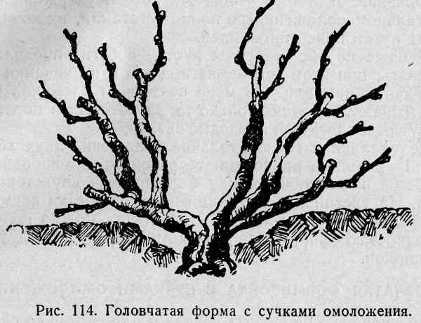 Головчатая форма виноградной лозы