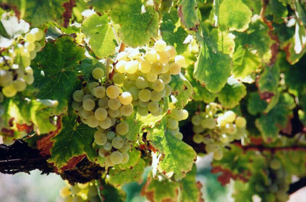 Виноград совиньон