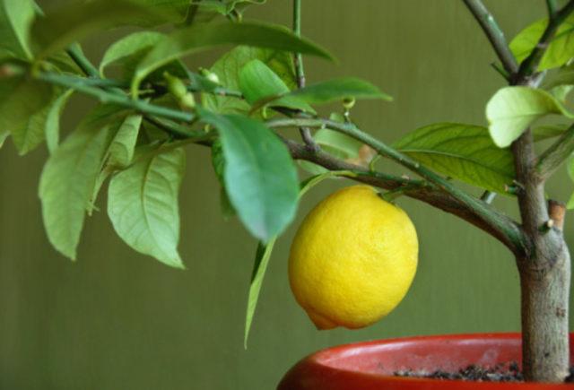 подкормка лимонов