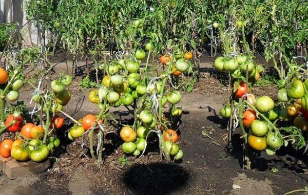 Не переносить резко помидоры из тени на солнце