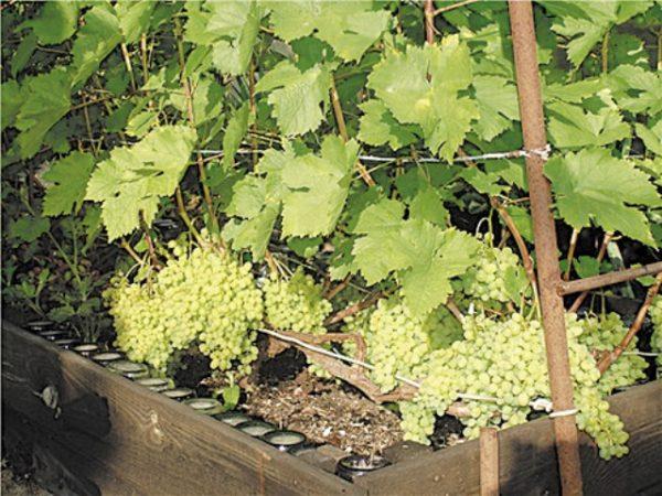 Виноград сорта алешенькин на дачном участке