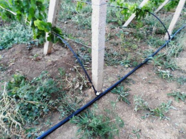 Опрыскивания и поливы нужны винограду на всех этапах роста