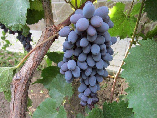 Виноград Юпитер используется как столовый сорт и для изготовления вина