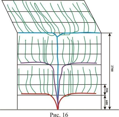 Схема арочного выращивания виноградной лозы