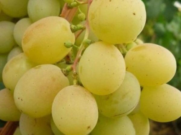 Ягода винограда талисман крупным планом