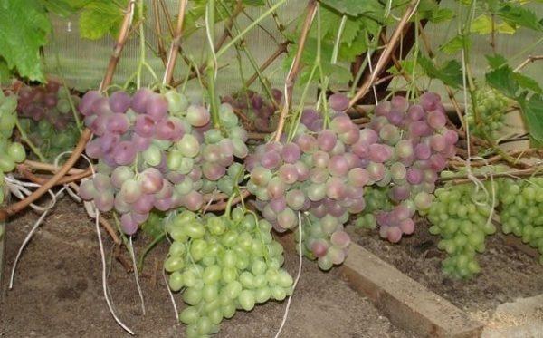 Начавший созревание виноград низина