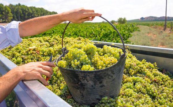 Сбор урожая винограда сорта шардоне