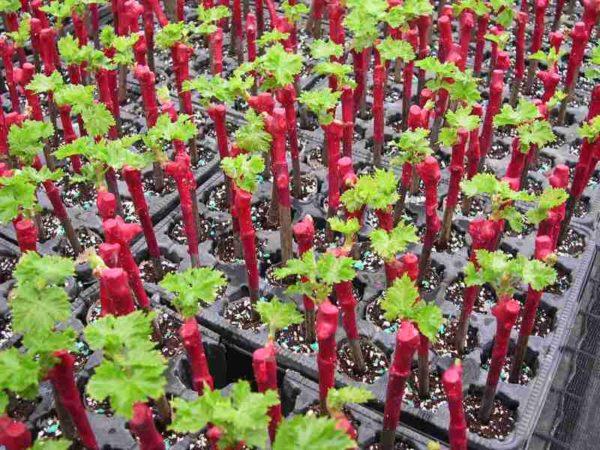 выращивание винограда из черенков