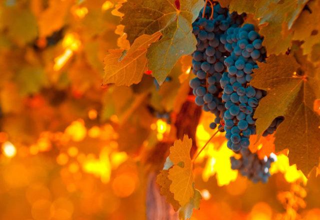 Что делать с виноградом в октябре