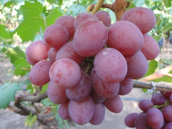 Данному сорту не присущ эффект горошения ягод