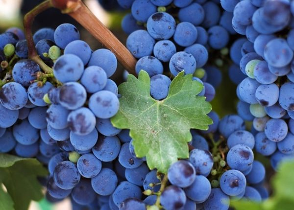 Кисть винограда крупным планом