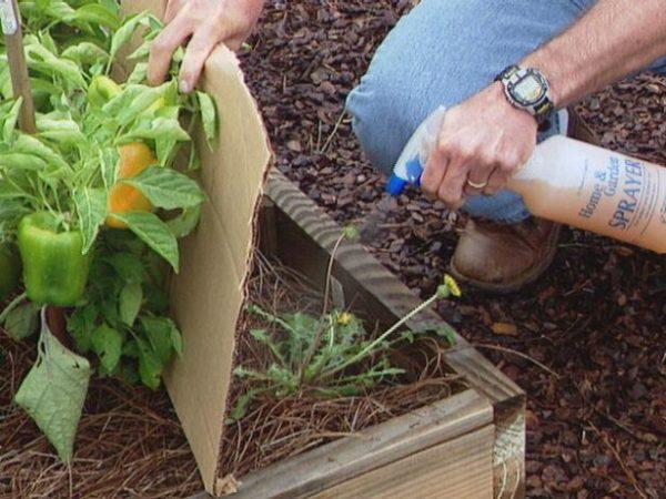 Резкий запах нашатыря отпугивает огородных вредителей