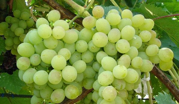 Кисть винограда восторг крупным планом