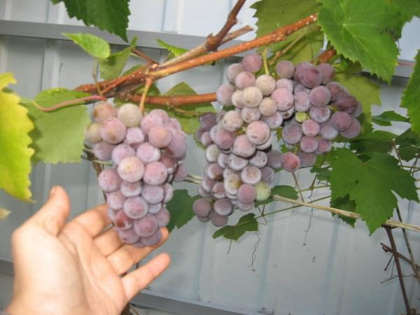 Ягоды для приготовления вина лучше собирать в середине осени