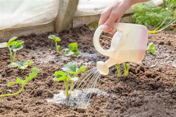 Полив клубники водой с добавлением переработанного навоза