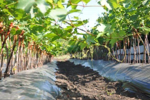 Посаженный виноград преображение