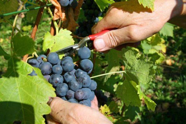 Срезание кисти винограда сорта красотка