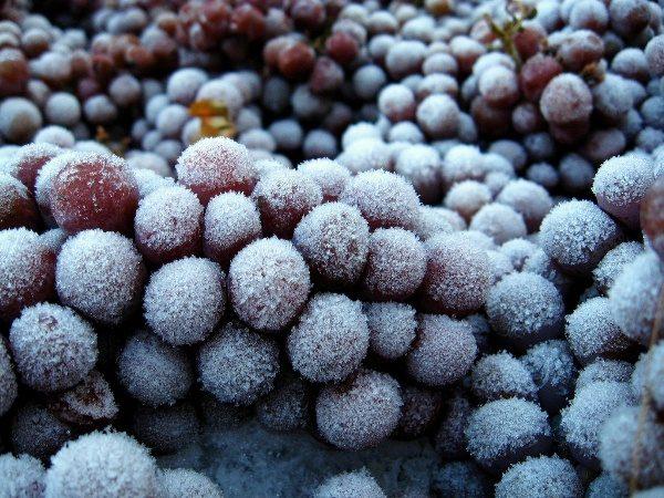 Для приготовления ледяного вина ягоды нужно заморозить