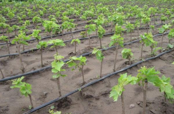 Посаженные саженцы винограда преображение
