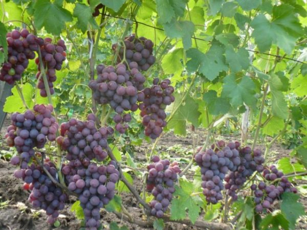 Грозди винограда рошфор на лозе