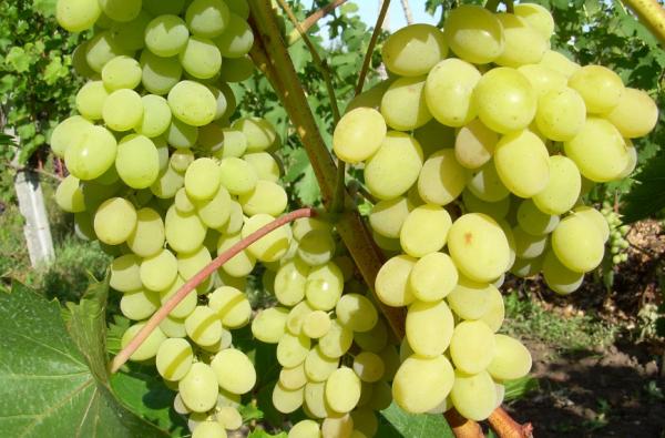Виноград Августин подходит как для бизнеса, так и для семейного потребления