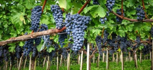 Виноградарством занимаются многие садоводы, как на юге России, так и в регионах с суровыми климатическими условиями
