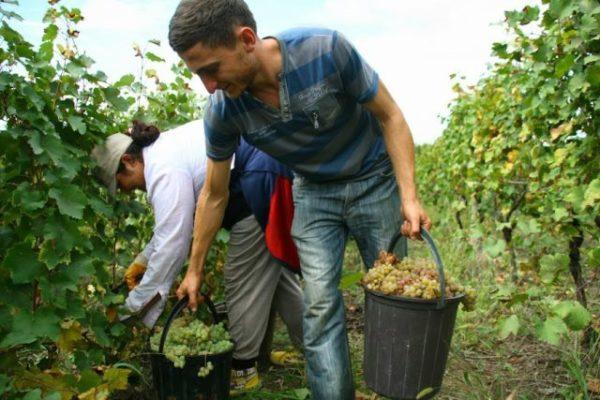 Сбор урожая винограда кишмиш