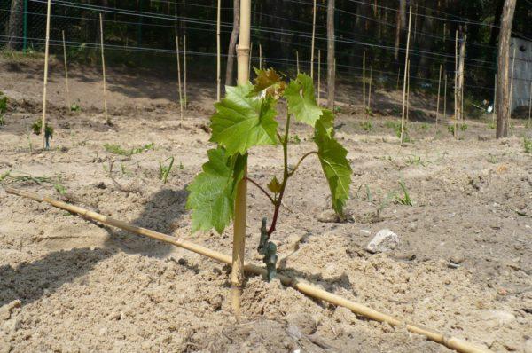 Только что посаженный виноградный саженец