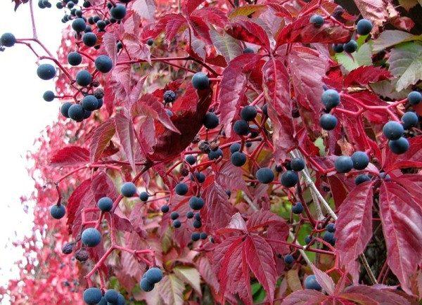 Плоды девичьего винограда несъедобны для человека