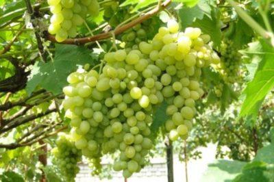 Виноград Августин