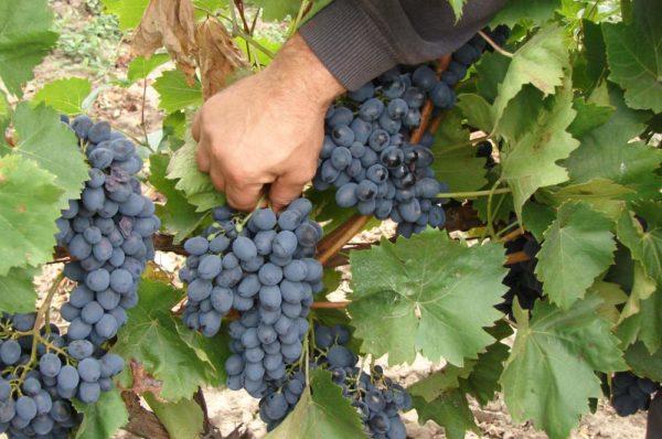 Отбирание лучших гроздей винограда