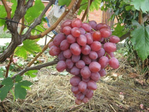 виноград фото анюта