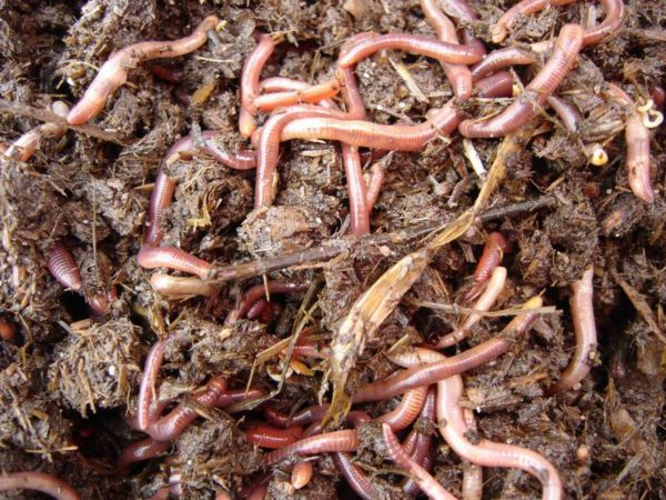 Червь старатель - самая быстро размножающаяся особь